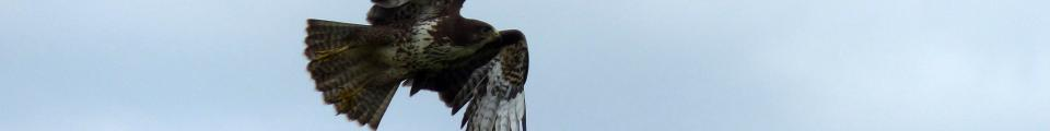 Photo credit: FZ020309 Buzzard (Buteo buteo) flying from lamppost.jpg