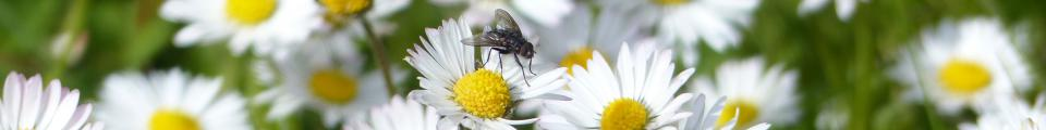 Photo credit: FZ015065 Fly on field of daisies.jpg