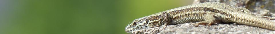 Photo credit: FZ017253 Viparous Lizard (Zootoca vivipara).jpg