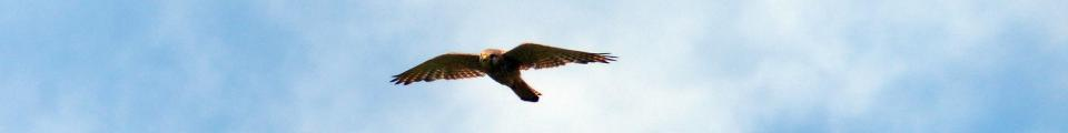 Photo credit: FZ018565 Kestrel near St. Bees Head.jpg